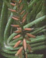 گل آذین دو گونه Aloe littoralis