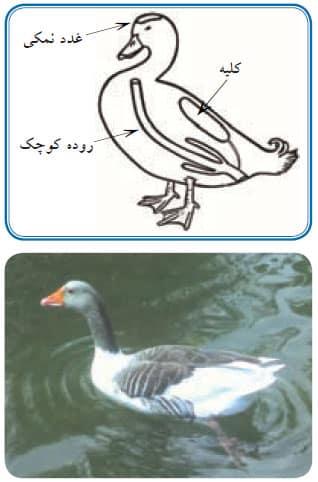 غدد نمکی در اردک