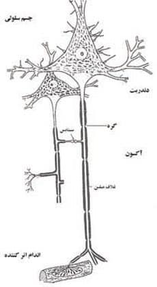 سلول عصبى