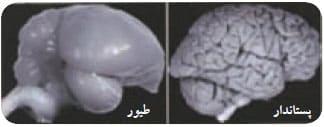 مقایسه مغز طیور و پستانداران