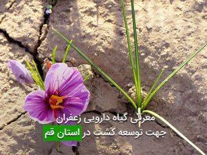 معرفی گیاه دارویی زعفران جهت توسعه کشت در استان قم
