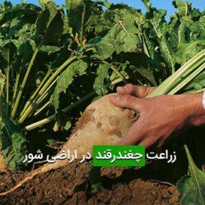 زراعت چغندرقند در اراضی شور