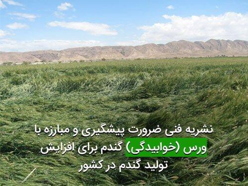 ضرورت پیشگیری و مبارزه با ورس یا خوابیدگی گندم برای افزایش تولید گندم در کشور