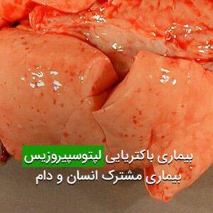 بیماری باکتریایی لپتوسپیروزیس بیماری مشترک انسان و دام