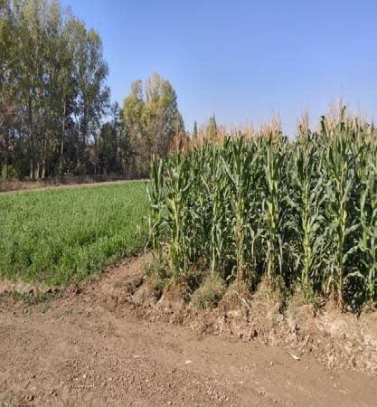 تولید پایدار در زراعت گندم با اجرای برخی از اصول کشاورزی حفاظتی