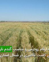 توصيه ارقام زودرس و مناسب گندم نان برای تاريخ های كاشت تأخيری در شمال استان خوزستان