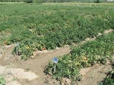 میزان مناسب نیتروژن جهت تولید گوجه فرنگی بدون نیترات