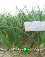 زودرس كردن پياز در استان خوزستان