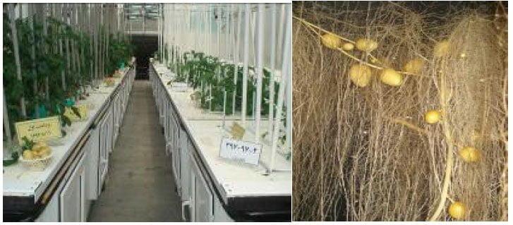 محلول غذایی مناسب برای تولید مینی تیوبر ارقام مختلف سیب زمینی در سیستم هواکشت