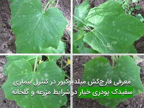 معرفی قارچکش میلدیوکیور در کنترل بیماری سفیدک پودری خیار در شرایط مزرعه و گلخانه