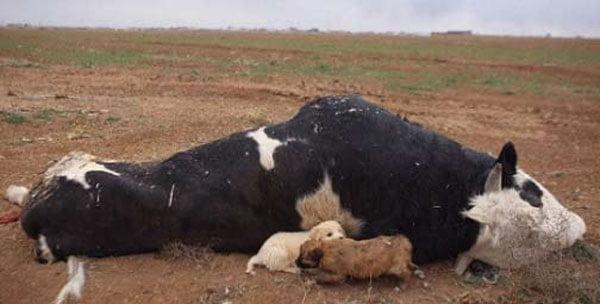 دفن بهداشتی حیوانات تلف شده