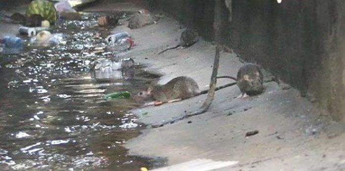 آلوده شدن آب توسط موش