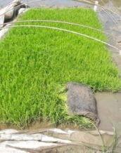 پرورش نشای مناسب کشت مکانیزه برنج بدون نیاز به جعبه نشا