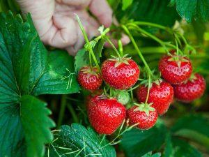 معرفی توت فرنگی به عنوان کشت جایگزین خیار و ایجاد تنوع در تولیدات گلخانه ای