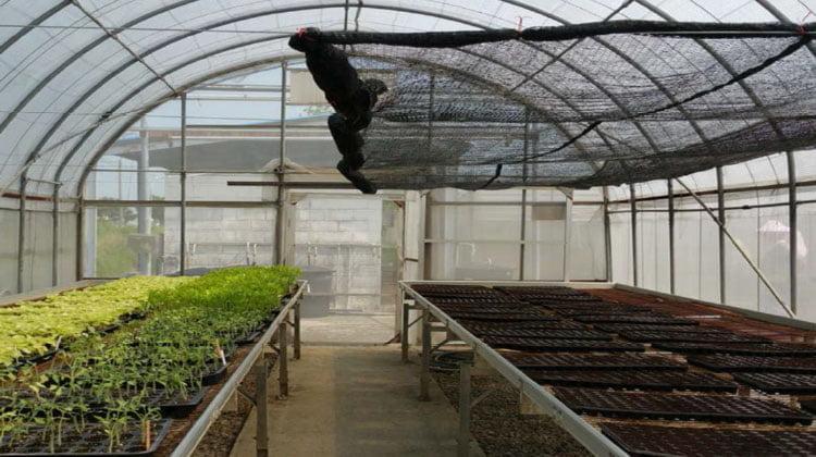 گلخانه نسبتا ساده با نیمکت های بلند و کف بتونی برای تولید نشا گوجه فرنگی در سینی های نشا.