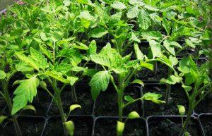 چگونه نشا سالم گوجه فرنگی تولید کنیم؟