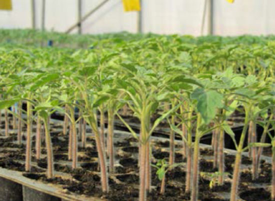 نشاهای گوجه فرنگی تولید شده در سینی های نشا پلاستیکی