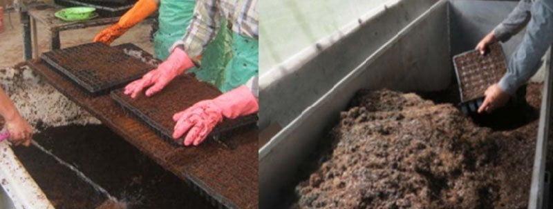 بسترهای کشت برای رشد نشا گوجه فرنگی