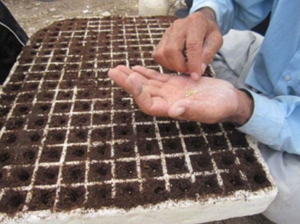 کاشت دستی بذرهای گوجه فرنگی و پوشاندن بذرها در سینی های کشت
