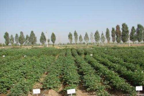 نمایی از اجرای سیستم آبیاری تیپ در محصول سیب زمینی