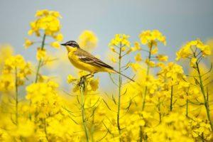 مدیریت کنترل و مبارزه با پرندگان خسارت زا در مزارع کلزا
