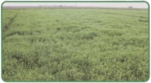 کود سبز و تناوب زراعی