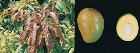 شکل ۹- میوه و برگ انبه رقم گومرا -۴