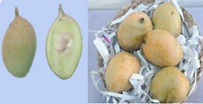 شکل ۱۰- میوه انبه رقم موواندان