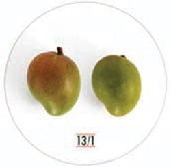 شکل ۱۱- میوه انبه رقم 13.1