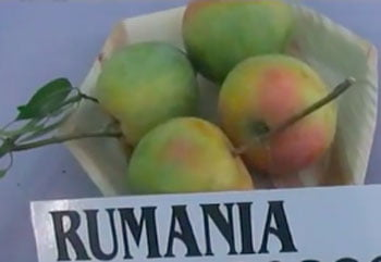 ۵- میوه انبه رقم رومانی