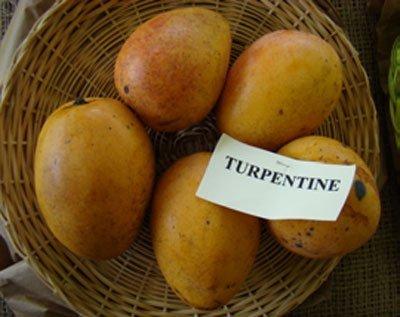 شکل ۳- میوه انبه رقم تورپنتین