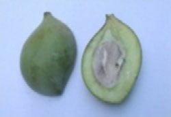 شکل ۴- میوه انبه رقم بپاکی