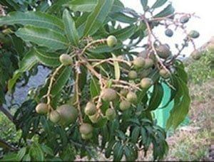 شکل ۶- میوه انبه رقم گومرا -۱ روی درخت