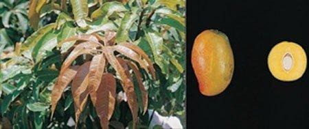 شکل ۸- میوه و برگ انبه رقم گومرا -۳