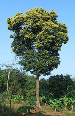 درخت انبه با ارتفاع ۳۵ متر در کشور هند