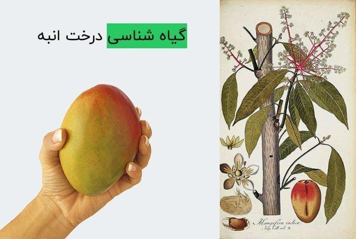 گیاه شناسی درخت انبه