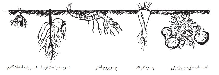 عمق ریشه گیاهان