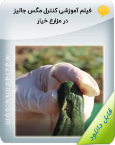 فیلم آموزشی کنترل مگس جالیز در مزارع خیار