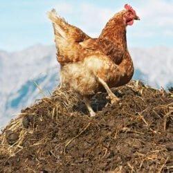 چگونه کود مرغی یا فضولات طیور را سالم سازی کنیم؟